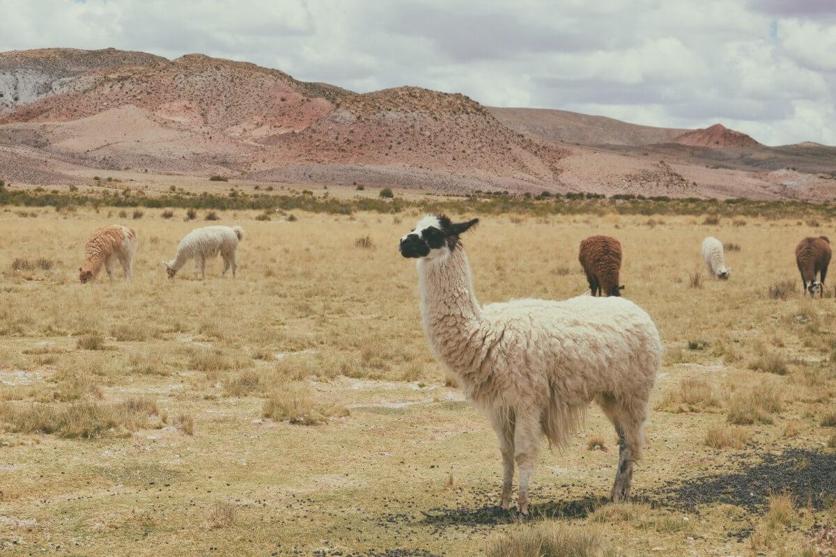 Llama fibres comes from llamas paz-arando-ZHmvek0kJW8-unsplash