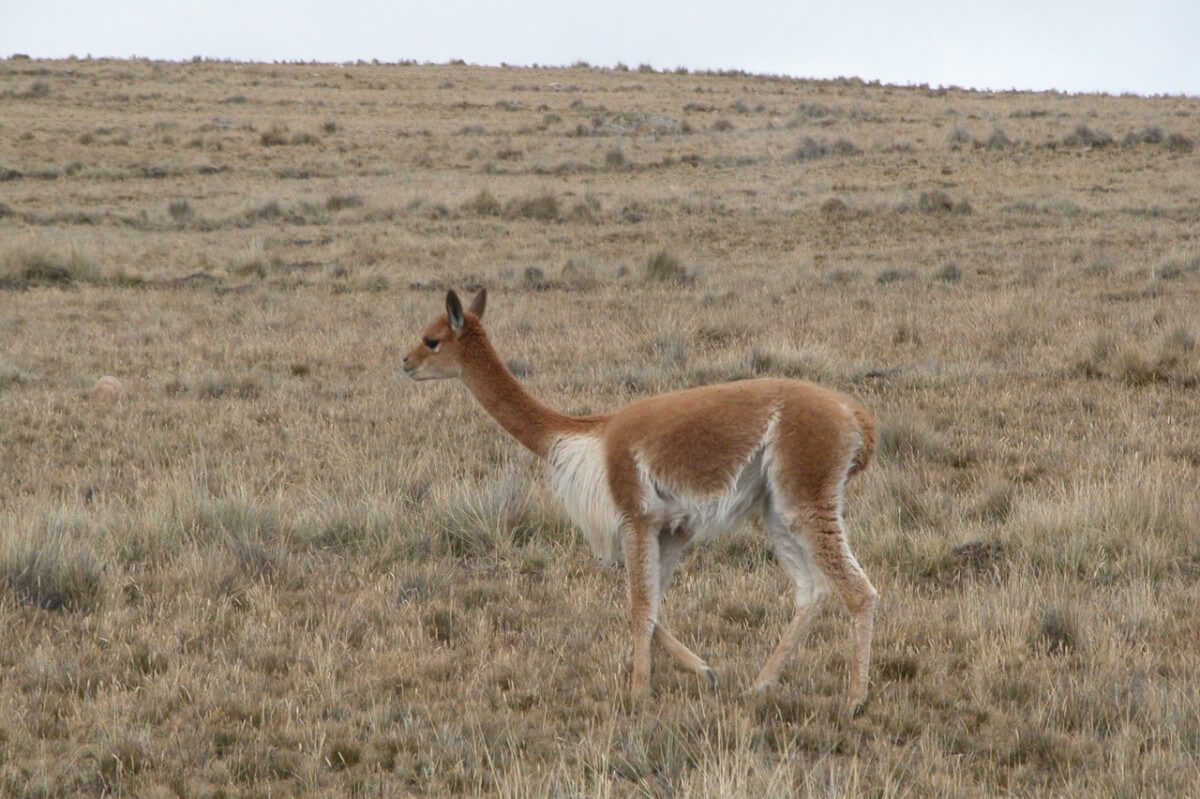 Vicuna fibre comes from Vicunas